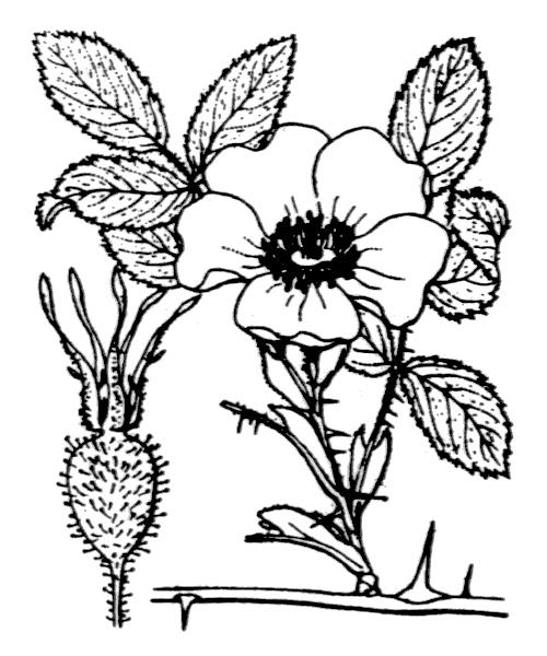 Rosa villosa L. - illustration de coste