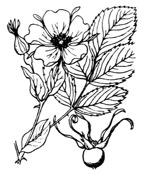 Rosa ferruginea Vill. [1779] - illustration de coste