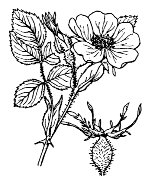 Rosa chavinii Rapin ex Reut. [1861] - illustration de coste