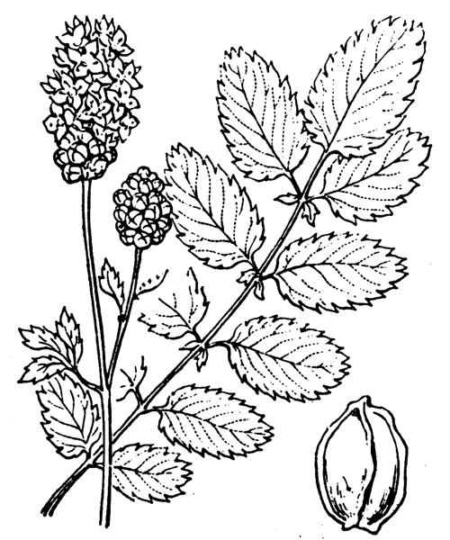 Sanguisorba officinalis L. - illustration de coste