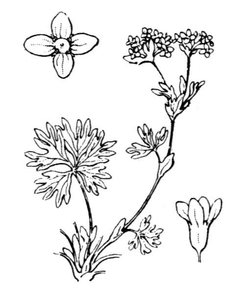 Alchemilla pentaphyllea L. - illustration de coste