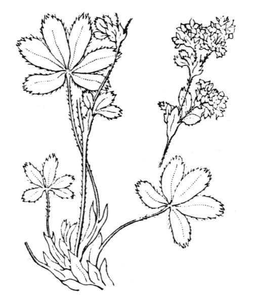 Alchemilla alpina L. - illustration de coste