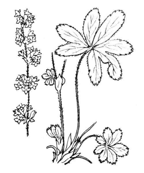 Alchemilla alpigena Buser - illustration de coste