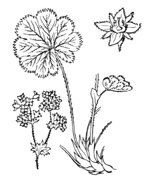 Alchemilla splendens H.Christ ex Favrat - illustration de coste