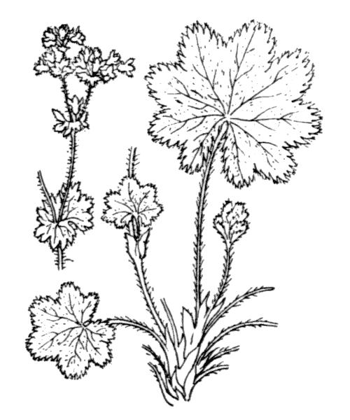 Alchemilla glaucescens Wallr. - illustration de coste