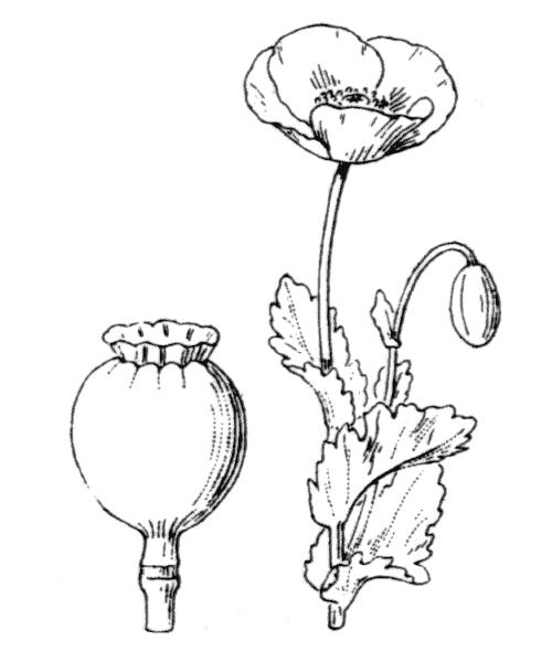 Papaver somniferum L. subsp. somniferum - illustration de coste