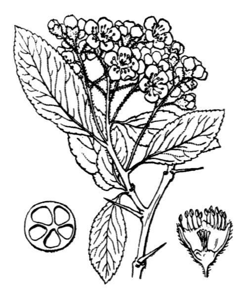 Pyracantha coccinea M.Roem. - illustration de coste