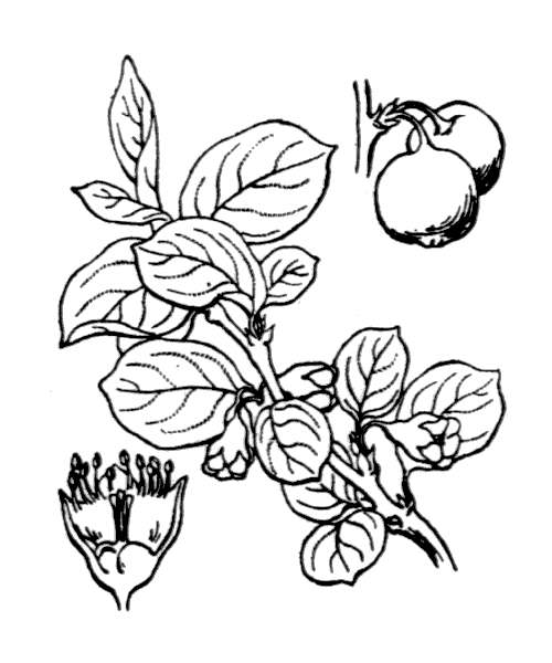 Cotoneaster integerrimus Medik. - illustration de coste
