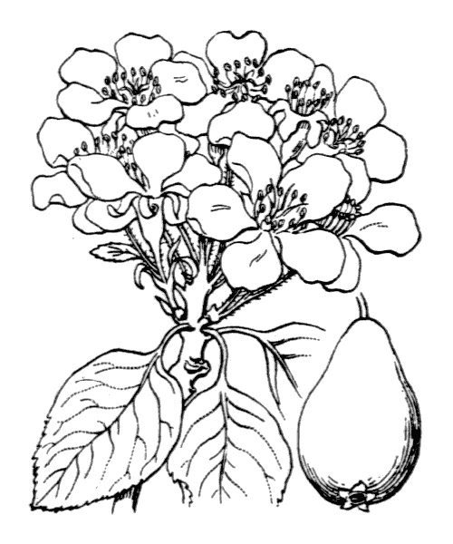 Pyrus communis (illustration de Coste)