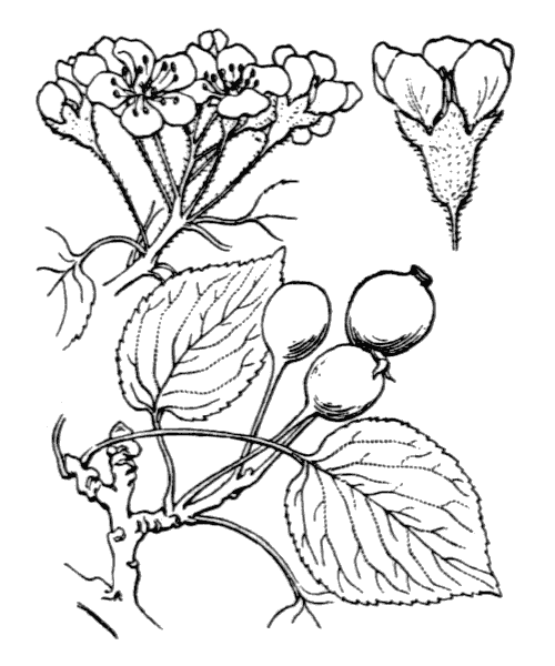 Pyrus cordata Desv. - illustration de coste