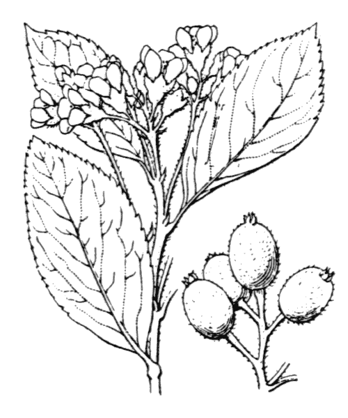 Sorbus chamaemespilus (L.) Crantz [1763, Stirp. Austr. Fasc., éd. 1, 2 : 40] (illustration de Coste)
