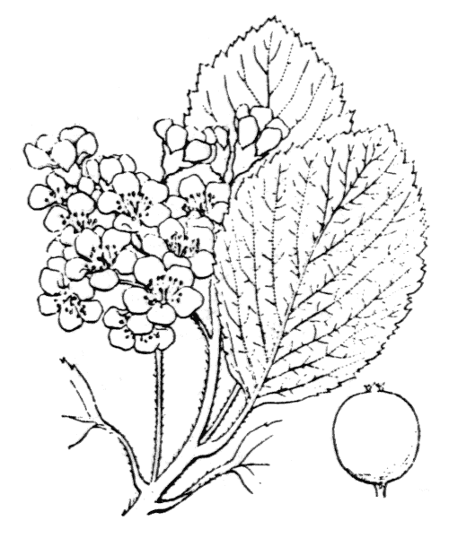 Sorbus aria (L.) Crantz [1763, Stirp. Austr. Fasc., éd. 1, 2 : 46] (illustration de Coste)