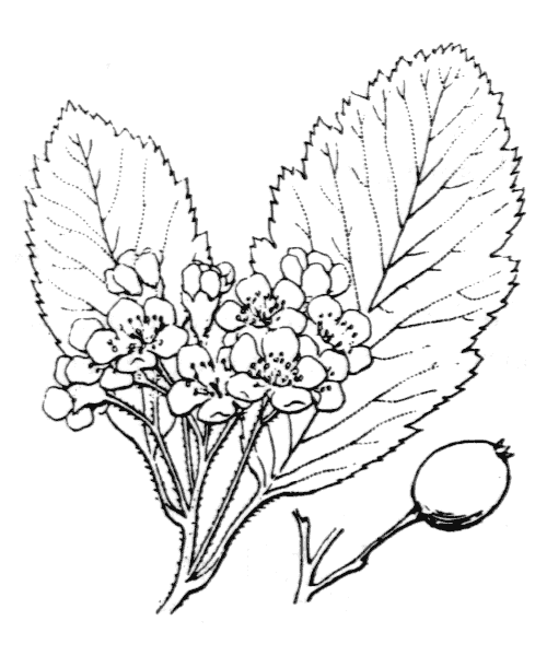 Sorbus mougeotii Soy.-Will. & Godr. [1858, Bull. Soc. Bot. France, 5 : 447] (illustration de Coste)