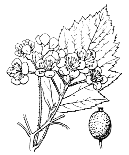 Sorbus latifolia (Lam.) Pers. [1806, Syn. Pl., 2 : 38] (illustration de Coste)