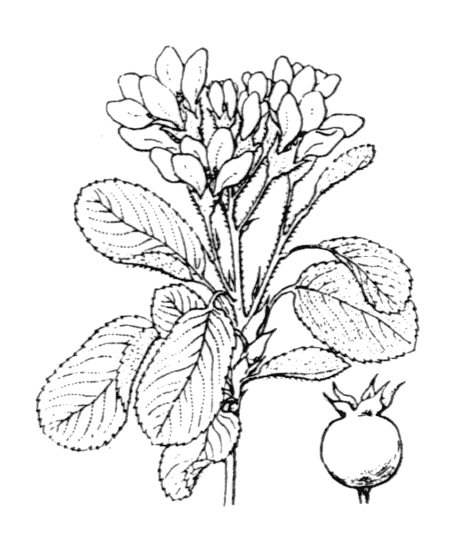Amelanchier ovalis (illustration de Coste)