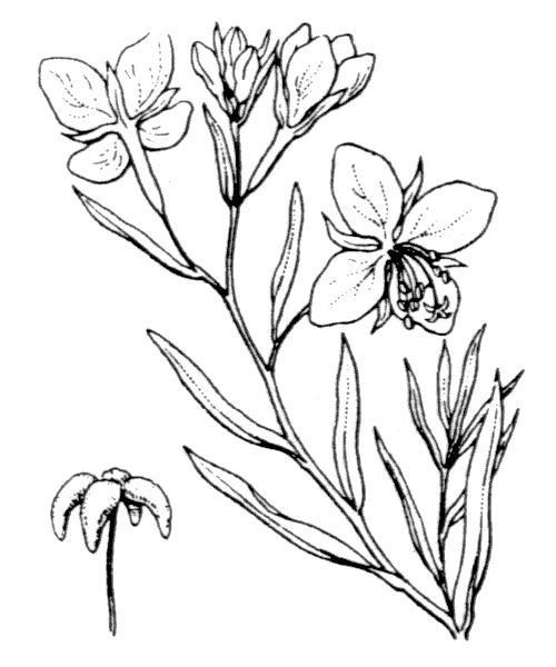 Epilobium dodonaei Vill. [1779] - illustration de coste