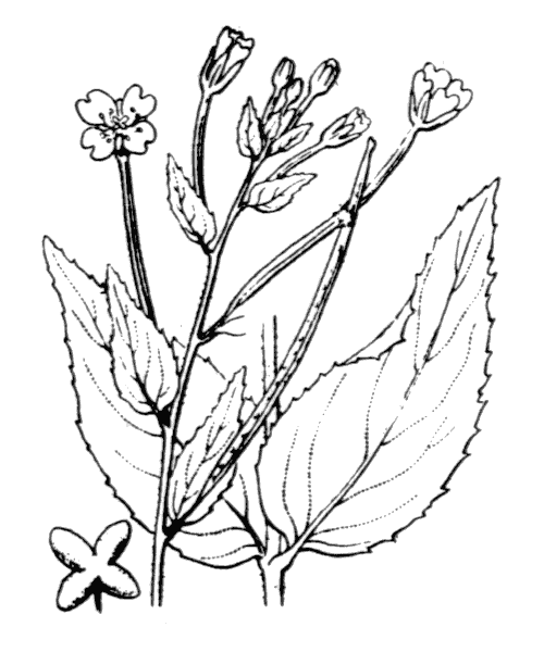 Epilobium montanum L. - illustration de coste