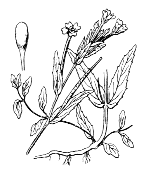 Epilobium obscurum Schreb. [1771] - illustration de coste