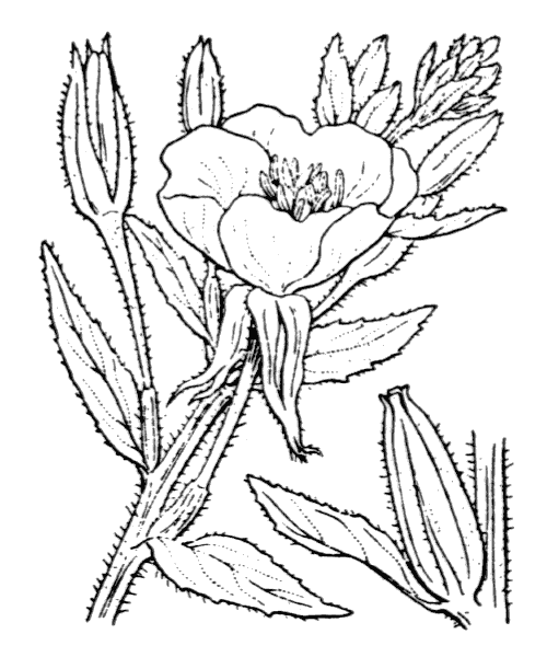 Oenothera biennis L. - illustration de coste