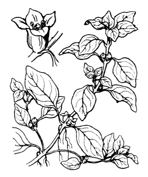 Ludwigia palustris (L.) Elliott - illustration de coste