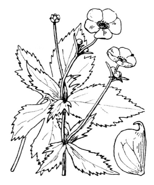 Ranunculus aconitifolius L. - illustration de coste