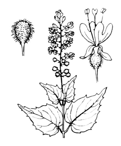 Circaea x intermedia Ehrh. - illustration de coste