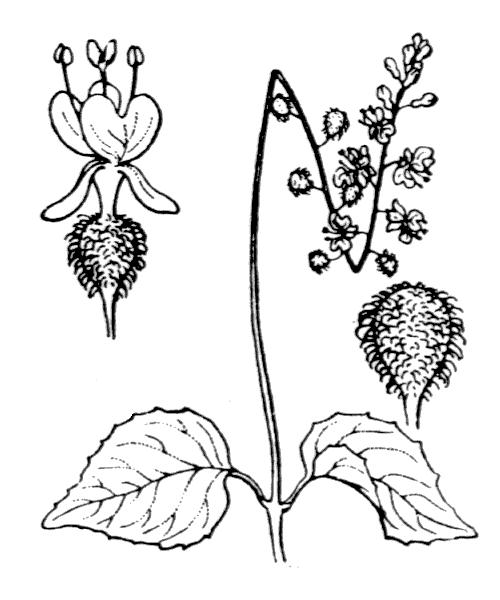 Circaea lutetiana L. - illustration de coste