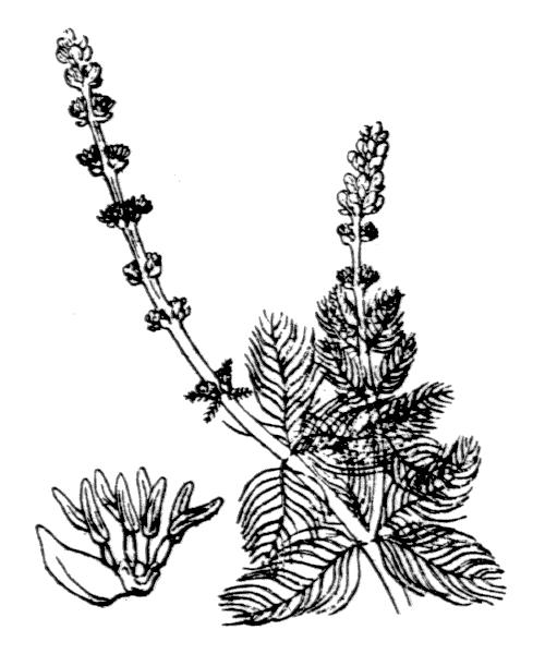 Myriophyllum spicatum L. [1753] - illustration de coste