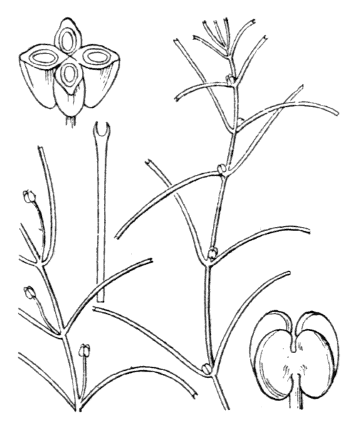 Callitriche truncata Guss. [1826] - illustration de coste