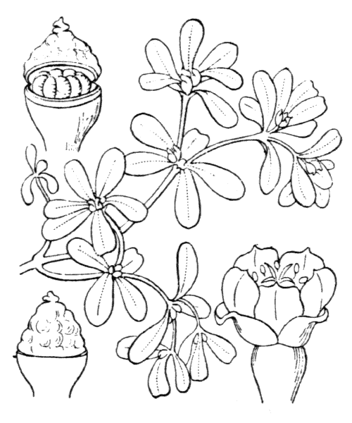 Portulaca oleracea L. - illustration de coste