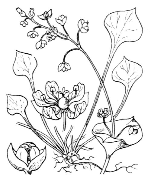 Claytonia perfoliata Donn ex Willd. - illustration de coste