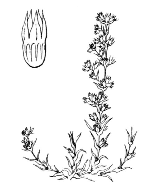 Scleranthus annuus subsp. verticillatus (Tausch) Arcang. - illustration de coste