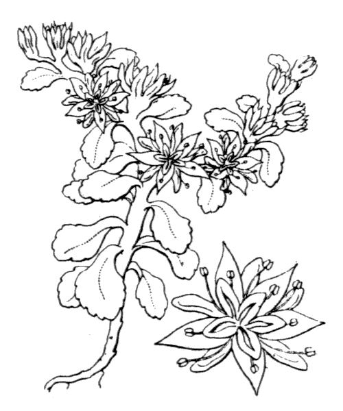 Phedimus stellatus (L.) Raf. - illustration de coste