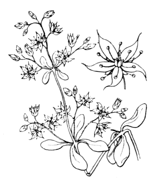 Sedum cepaea L. - illustration de coste