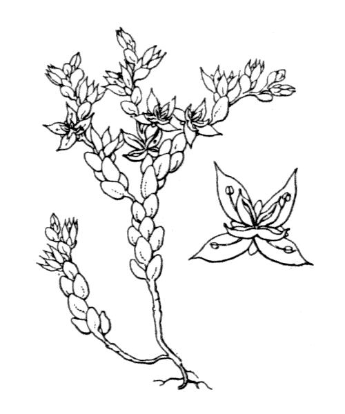 Sedum caespitosum (Cav.) DC. - illustration de coste