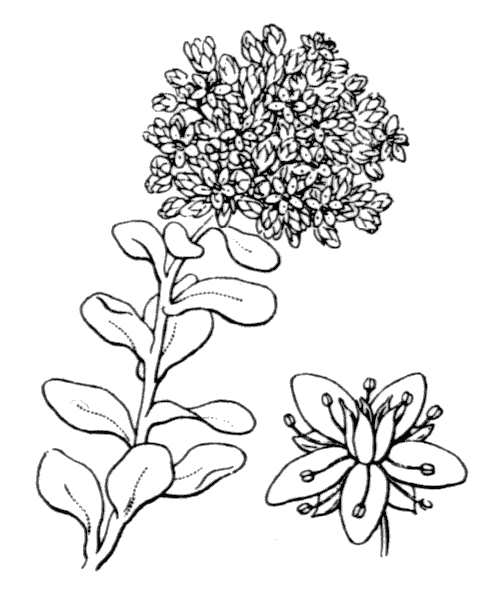 Hylotelephium anacampseros (L.) H.Ohba [1977] - illustration de coste