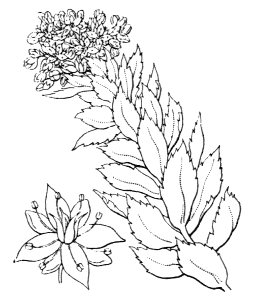 Rhodiola rosea L. - illustration de coste