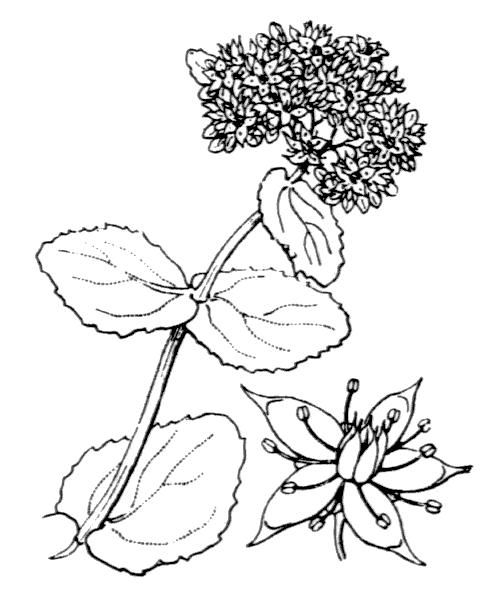 Hylotelephium telephium (L.) H.Ohba - illustration de coste