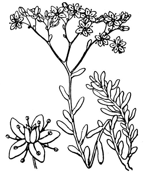 Sedum album L. [1753] - illustration de coste