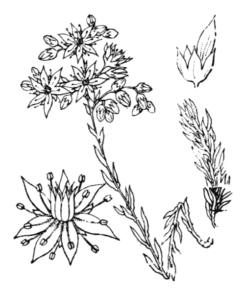 Sedum rupestre L. - illustration de coste