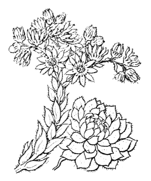 Sempervivum tectorum L. - illustration de coste