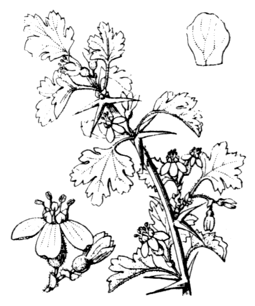 Ribes uva-crispa L. - illustration de coste