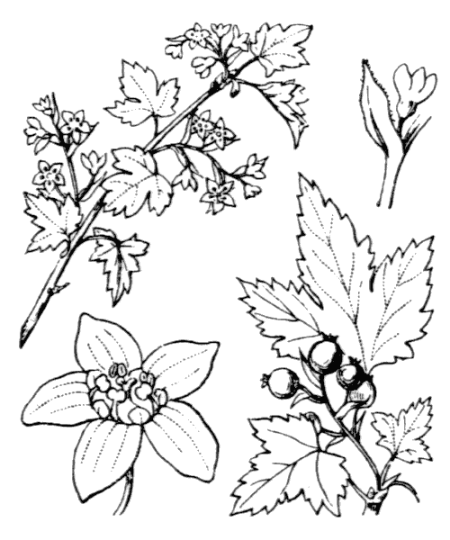 Ribes alpinum L. - illustration de coste