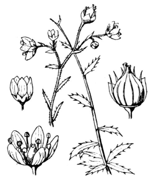 Saxifraga aspera L. - illustration de coste