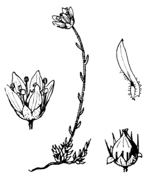 Saxifraga bryoides L. - illustration de coste