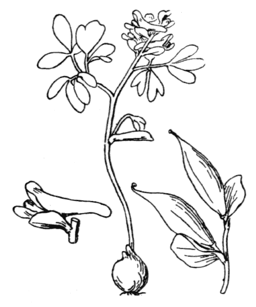 Corydalis intermedia (L.) Mérat [1812] - illustration de coste