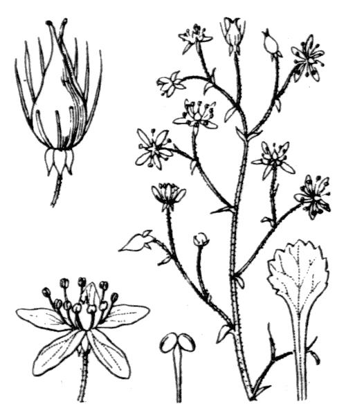 Saxifraga cuneifolia L. - illustration de coste