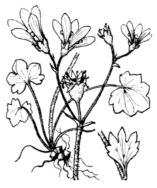 Saxifraga granulata L. - illustration de coste