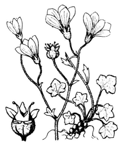 Saxifraga corsica (Ser.) Gren. & Godr. - illustration de coste