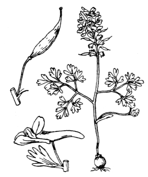 Corydalis solida (L.) Clairv. [1811] - illustration de coste
